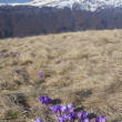 Crocuses blooming in the mountains — Stock Photo
