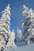 Snow-covered trees in a forest — Stock Photo