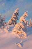 Evening light in the winter forest — Stock Photo