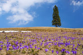 Crocuses on meadow — Stock Photo