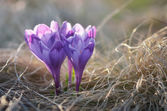 Blooming crocuses  — Stock Photo