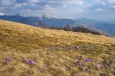 First spring crocus flowers  — Stock Photo