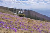 Field of blooming crocus in the mountains — Stock Photo