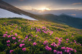 Summer flowers in the mountains at sunset — Stock Photo