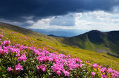 Flowering meadows in the mountains — Stock Photo