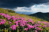 Glade blooming rhododendrons in the mountains  — Stock Photo