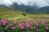 Flowers in the mountains overcast day — Stock Photo