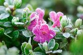 Flowers in hoarfrost — Stock Photo