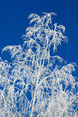Branches of a tree in hoarfrost  — Stock Photo