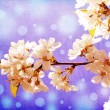 White flowers of cherry in spring garden at blue sky background — Stock Photo