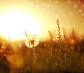 Campo real e dente de leão ao pôr do sol. — Foto Stock