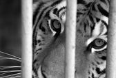 Sad tiger under cage — Stock Photo