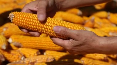 Corns in farmers hands. — Stock Video