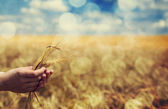 Farmer hand keep green wheat spikelet. — Stock Photo