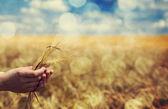 Farmer hand keep green wheat spikelet. — Stock Photo
