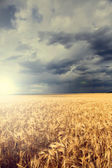 Rain over wheat field — Stock Photo