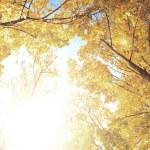 Upward view of fall trees — Stock Photo #31077955