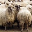 Herd of sheep — Stock Photo #14652339