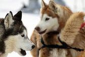 Husky-hund — Stockfoto
