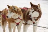 Pies husky syberyjski — Zdjęcie stockowe