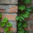 Royalty-Free Stock Photo: Ivy climbing the old wall