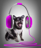 Chihuahua in purple ear-phones — Stock Photo