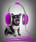 Chihuahua i lila öra-telefoner — Stockfoto