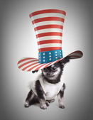 Chihuahua in a top hat — Stock Photo