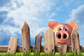 Wooden fence with green grass and pig. — Foto de Stock
