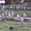 Cattle Egrets in wetlands in The Gambia, West Africa. — Stock Video