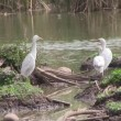 Cattle Egrets in wetlands. — Stock Video