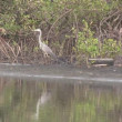 Grey Heron in the mangrove swamp. — Stock Video