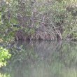 Stock Video: Mangrove swamp in Gambia.