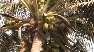 Coco nuts growing in a palm tree. — Stock Video