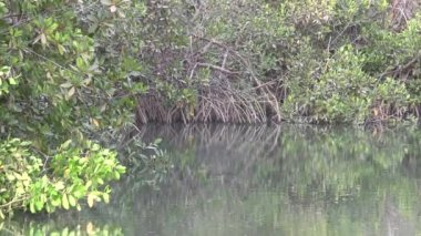 Palude di mangrovie in gambia. — Video Stock