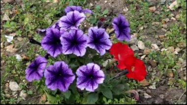 Purple and red Petunias swaying in the breeze — Stock Video