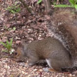 Grey squirrel scavenging for food. — Vídeo Stock
