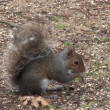 Grey squirrel scavenging for food. - Stock Photo