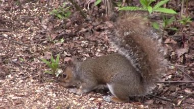Grey squirrel scavenging for food. — Stock Video