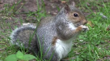 Grey squirrel eating from its paws. — Stock Video