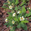 Wild woodland Primrose (Primula Vulgaris). — Stock Photo