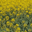 Oil seed rape (Canola) — Stock Photo