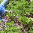 Leaking hose pipe partial repaired with a plastic bag. — Stock Video