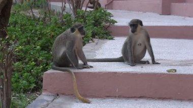 Wild monkeys on hotel steps. — Stock Video