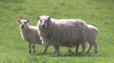 Ewe and lamb grazing in a field. — Stock Video