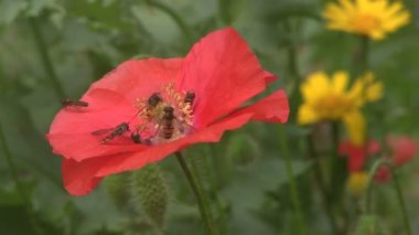 Hover Flies feeding on poppies. — Vídeo Stock