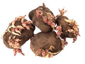 Old potatoes that have started sprouting . — Stock Photo