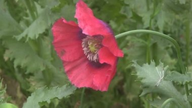 Hover Flies feeding on poppies. — Stok video
