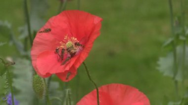 Hover Flies feeding on poppies. — Stockvideo