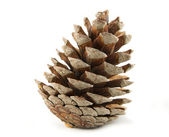 Pine cone — Stockfoto